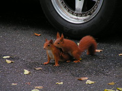 Eichhrnchen... (_David_Meister_) Tags: street love wheel squirrel rad liebe eichhrnchen strase