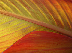 Light through the leaves (Canna sp.) (Butterfly Psyche) Tags: autumn red urban orange sunlight plant macro green fall philadelphia leaves yellow closeup backlight leaf stem veins backlit canna windowbox oberflchen bigleaf cannalily leafveins hugeleaf cannaleaf leafstem 1100v top20orange cannaleaves thechallengefactory kunstplatzlinternational lightthroughtheleaves hugeredleaf
