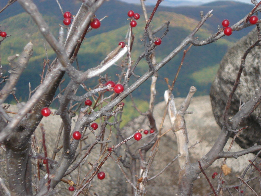 Berries at the Mountain Top