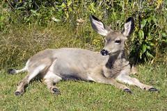 Mule Deer, Waterton Park (sminky_pinky100 (In and Out)) Tags: canada mountains nationalpark wildlife deer alberta rockymountains prairies watertonlakes justonelook mywinners abigfave omot eyejewel betterthangood amazingalberta