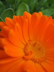 flowa (Maicdlphin) Tags: orange plant flower macro green canon powershot a590