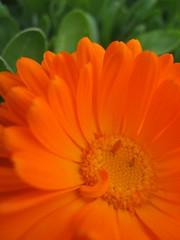 flowa (Maʝicdölphin) Tags: orange plant flower macro green canon powershot a590