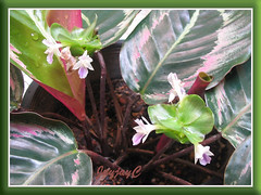 Flowering Calathea roseo picta cv. 'Eclipse' in our garden, Oct 14 2008