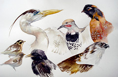 (ms. stephanie brown) Tags: chicago heron watercolor starling fieldmuseum taxidermy studies warblers gyrfalcon orinthology