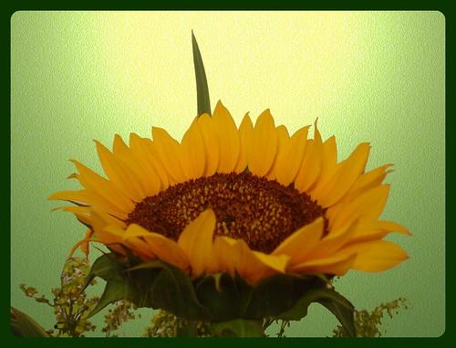 """""""flor do sol"""" by Flores do meu jardim."""