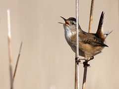 Marsh Wren (Random Images from The Heartland) Tags: bird birds southdakota aves wetlands prairie marshwren prairiepothole beadlecounty vosplusbellesphotos
