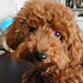 プードル:Toy poodle named Chocolat