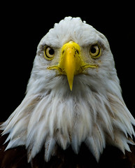 Eagle Eye (riclane) Tags: bird eagle baldeagle avian specanimal