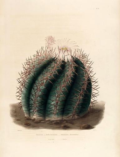 01- Echinocactus horizonthalonius