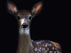 Precious (Random Images from The Heartland) Tags: chris southdakota deer fawn bailey prairie whitetaileddeer chrisbailey chrisbaileyimages