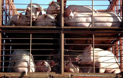 Expresso Porco