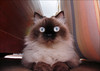 A Hora do Espanto (ccarriconde) Tags: blue eye cat eyes ccarriconde cristinacarriconde olhos mai gata olho eyed gatinha bolota olhodegato tocaia copyright©cristinacarricondeallrightsreserved ©cristinacarriconde momoroca caradecoruja pupuca minhucula