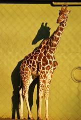 """How 'bout that, I'm even taller than my own shadow!"" (Allard Schager) Tags: holland netherlands animal zoo rotterdam blijdorp nikon lol nederland explore longneck giraffe 2008 348 dierentuin zuidholland animalfarm southholland diergaarde i500 d80 nikond80 nikkor70300mmvr allardone allard1 tallerthanmyshadow animallol allardschagercom"