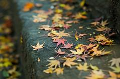 atago_fallings-1268 (al.vvvvv.in) Tags: winter red orange leaves yellow japan stairs 50mm tokyo nikon shrine 12 nikkor dslr 2008 50mm12 ais kamiyacho f12 d300 50mmf12 atagojinja