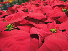 HBW!!!! ( Graa Vargas ) Tags: flower poinsettia bicodepapagaio euphorbiapulcherrima graavargas 2008graavargasallrightsreserved 12908181109