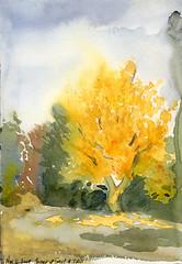 Ginkgo Tree - 2