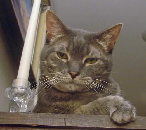 grumpy grey tabby cat