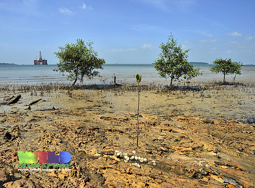 Mangroves of Pulau Semakau
