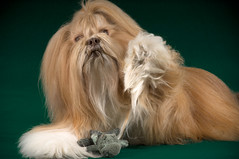 Happy Hippodays! (Charley Lhasa) Tags: christmas portrait dog holiday green studio toys wave hippo pick charley lhasaapso charleylhasa  holiday2008 file:original=raw camera:nikon=d2x software:adobe=lightroom lens:nikon=8514 iso:speed=100 image:roll=0334 profoto:acute2r1200=2 strip:masks=2 still:life=table softbox:threebyfour=2 lightroom:preset=03340071christmasgreen roll:frame=03340051 thankskaren2020forsnowcode