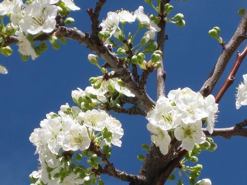 梅花plum flower