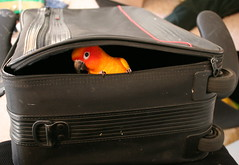 Rudy the Parrot in suitcase