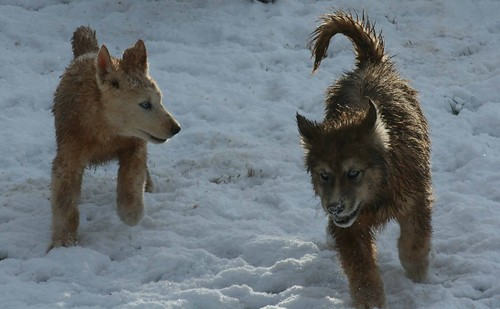 Dirty Wolf-Dog Cubs - IMG_5583_ZOOM