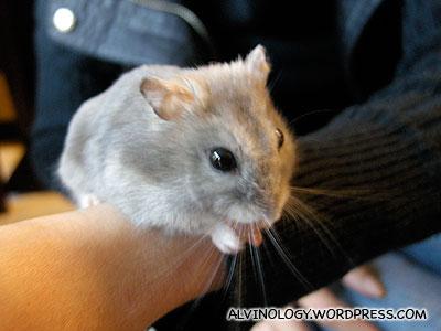 The Asais hamster