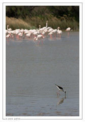 Camargue 2009 (Jeff-Photo) Tags: heron rose flamingo flamingos greater camargue flamant phoenicopteridae phoenicopterus roseus fenicottero rosaflamingo