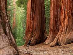 Land Of Giants (Ben  H.) Tags: red green forest yosemite redwood mercedgrove 09walkamonggiants