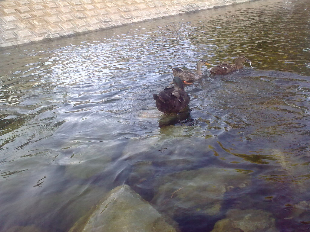 대구 신천둔치 청둥오리 가족 wild duck family at Sinchundunchi, Daegu #7