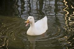 El Pato (CJ_Photography) Tags: animal canon eos agua retrato duke pico pato 7d animales