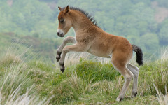 prancing exmoor colt (devonteg) Tags: spring nikon heather colts exmoor foals 70300 2011 d80 exmoorponies whortleberries dickyspath