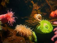 P1190201b (Michael.Lee.Pics.NYC) Tags: aquarium baltimore seaanemone