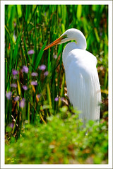 Great Egret (thedaner) Tags: flowers blue orange white green bird eye heron face grass yellow nikon purple florida alba bokeh great beak feathers ardea breeding wetlands common egret greategret plumage greatwhiteegret ardeidae yelloweye viera ardeaalba orangebeak breedingplumage whiteheron d90 greatwhiteheron commonegret vierawetlands