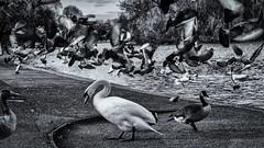 Swan Fright HC9Q4904-1a (rodwey2004) Tags: london birds pigeons flock flight streetphotography ducks swans regentspark