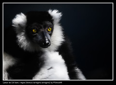 Black-and-white Ruffed Lemur ( Pere Soler) Tags: barcelona life wild white black green nature zoo monkey eyes looking lemur onblack naturesfinest canon70200lf4 allrightsreserved specanimal animalkingdomelite mywinners impressedbeauty superbmasterpiece goldenphotographer ithinkthisisart diamondclassphotographer flickrdiamond canon40d braid44 goldstaraward peresoler