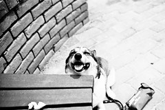 roar with laughter (moaan) Tags: leica light bw dog sunlight smile 35mm corgi peace afternoon walk sunday peaceful laugh laughter m3 welshcorgi 2008 stroll everydaylife sundayafternoon carlzeiss smilingface kodaktmax100 biogon f20 ordinarylife leicam3 pouringsunlight pochiko thelittledoglaughed zeissbiogon35mmf20 gettyimagesjapanq1 gettyimagesjapanq2