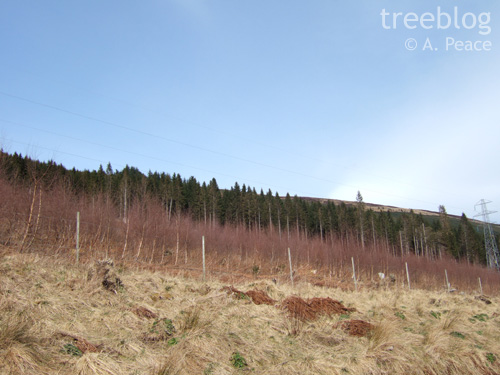 Drummond Hill silver birch provenance trial