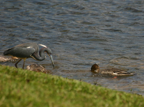 Heron and three mergansers