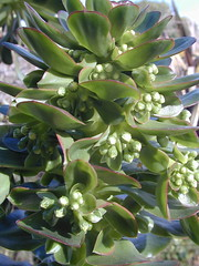 DSCN0054 (serialplantfetishist) Tags: california berkeley homegarden aeoniumarboreum