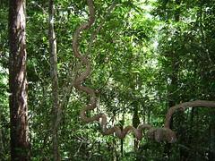 Selva liane