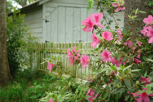 Azaleas and a Picket Fence