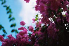 (David Benton) Tags: flowers film leaves bougainvillea sharp caribbean bvi virginislands britishvirginislands virgingorda shallowdof nikonfg