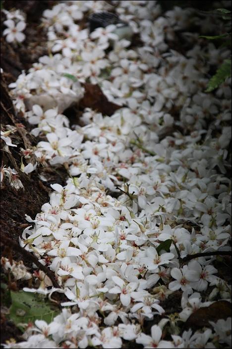 水溝裡的桐花1