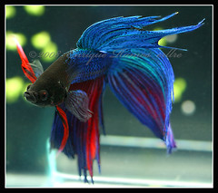 Betta Splendens (Enrique Ramos Lpez) Tags: pets fish aquarium asia photographer peces luchador tropical betta acuario fotografo luchadores acuariofilia splendens acuarios asiatico erllre pecesypaisajismomarino enriqueramoslopez