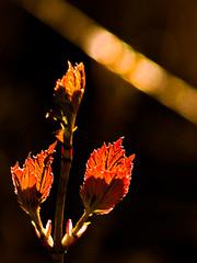 tracer (nosha) Tags: nature beauty alaska spring bud nosha akfoto