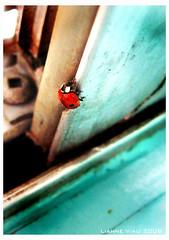 Lady Bug (Lianne Viau) Tags: blue light red macro bird up closeup lady bug close beetle spot spots ladybird ladybug ladybeetle