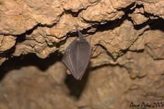 Murcilago (Paco Pea) Tags: bat chauvesouris murcilago fledermaus      imi