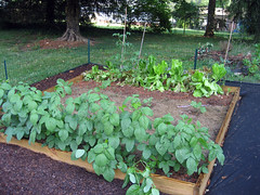 eggplant, lettuce and soybeans late spring