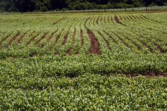 Field of pearl millet